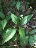 認識植物2.0 (70) 柊柏柚柳:柏拉木xx01.jpg