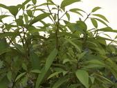 植物隨手拍EI:香楠ei8515.JPG