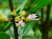 認識植物2.0 (70) 柊柏柚柳:柏拉木xx03.jpg