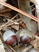 認識植物(67) 圓塊奧幹愛愷:圓果青剛櫟xx01.jpg