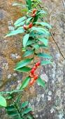 認識植物2.0 (70) 柊柏柚柳:柚葉藤xx01.jpg