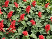 植物隨手拍 A:一串紅 a7188.JPG