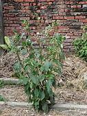 植物隨手拍 X:昭和草 x8574.JPG