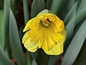 植物隨手拍 BP:西洋水仙bp3730.JPG