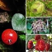 認識植物2.0 (77) 耐胡苕苞:相簿封面
