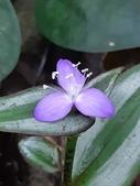 認識植物2.0 (25) 吊同向地多:吊竹梅xx01.jpg