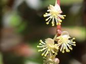 認識植物2.0 (59) 長:長葉變葉木ei368.JPG