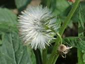 植物隨手拍 X:昭和草 x9556.JPG