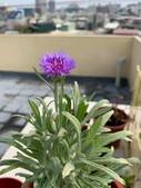 認識植物2.0 (22) 皮矢石禾立:矢車菊xx03.jpg