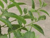 植物隨手拍EB:冷飯藤eb8136.JPG