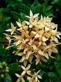 認識植物(69) 當痲矮碎碗稗稜節粳群義聖:矮仙丹花xx01.jpg