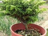 認識植物2.0 (22) 皮矢石禾立:石化檜db9981.JPG