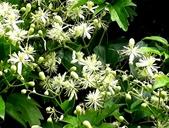 認識植物2.0 (33) 串亨伸佛克:串鼻龍xx05.jpg