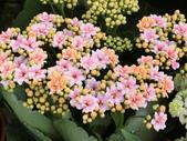 認識植物2.0 (59) 長:長壽花bq9386.JPG