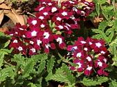 植物隨手拍 BP:美女櫻bp7128.JPG