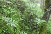 認識植物2.0 (59) 長:長行天南星xx01.jpg
