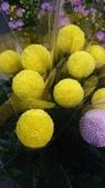 認識植物2.0 (23) 乒交伊伏光:乒乓菊xx01.jpg