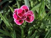 植物隨手拍 X:康乃馨 x2112.JPG