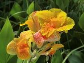 認識植物(69) 當痲矮碎碗稗稜節粳群義聖:矮性美人蕉bu0853.JPG