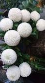 認識植物2.0 (23) 乒交伊伏光:乒乓菊xx06.jpg