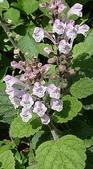 認識植物2.0 (31) 耳肉肋舌舟艾:耳挖草xx03.jpg