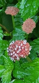 認識植物2.0 (59) 長:長梗盤花麻xx06.jpg