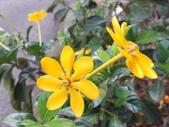 認識植物2.0 (59) 長:長花黄梔xx01.jpg