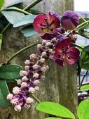 認識植物2.0 (59) 長:長序木通xx04.jpg