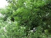 植物隨手拍EI:烏桕ei5257.JPG