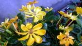 認識植物2.0 (59) 長:長花黄梔xx02.jpg