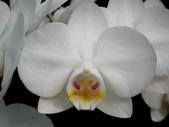 蝴蝶蘭照片欣賞 :W01-010aa.JPG