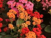 植物隨手拍 P:三色長壽花 p3781.JPG