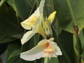 認識植物(69) 當痲矮碎碗稗稜節粳群義聖:矮性美人蕉bu3949.JPG