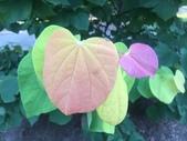 認識植物2.0 (27) 成扛早旭曲朵:旭日紫荊xx02.jpg