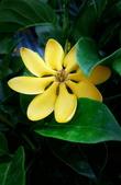 認識植物2.0 (59) 長:長花黄梔xx04.jpg