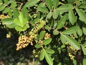 植物隨手拍 J:巴西胡椒木 j5233.JPG