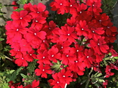 植物隨手拍 BP:美女櫻bp3519.JPG