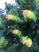 認識植物2.0 (27) 成扛早旭曲朵:旭日紫荊xx03.jpg