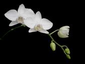 蝴蝶蘭照片欣賞 :W01-030b.JPG
