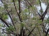 植物隨手拍 AS:苦楝as6005.JPG