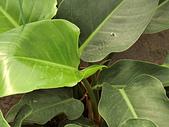 植物隨手拍 BP:綠鑽蔓綠絨bp5120.JPG
