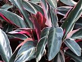 植物隨手拍 BP:彩虹竹芋bp2547.JPG