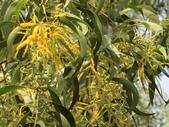認識植物2.0 (31) 耳肉肋舌舟艾:耳莢相思樹ba6788.JPG