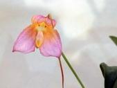 認識植物(60) 猢猩猴琴番畫短硬筆筑:猴面小龍蘭dg0635.JPG