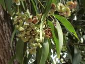 認識植物2.0 (31) 耳肉肋舌舟艾:耳莢相思樹ba8870.JPG