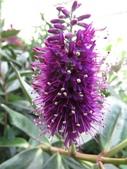認識植物2.0 (59) 長:長階花xx01.jpg