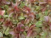 認識植物2.0 (66) 威娃屋屏峇:威氏鐵莧 l6644.JPG