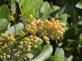植物隨手拍 J:巴西胡椒木 j6708.JPG