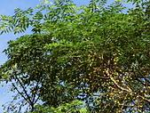 植物隨手拍 AS:苦楝as6105.JPG