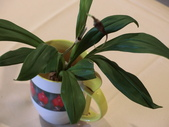 認識植物(60) 猢猩猴琴番畫短硬筆筑:猴面小龍蘭dg0647.JPG